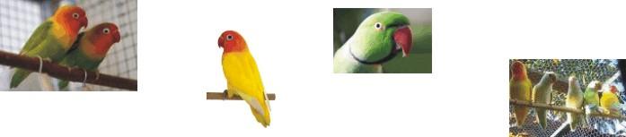 Criador de Aves Ornamentais