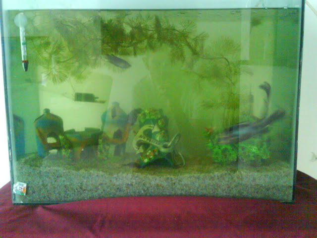 El pez betta for Cria de peces ornamentales