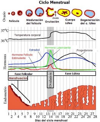 Cese del ciclo menstrual adulto normal