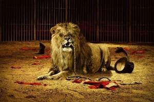 O gordinho e o leão fujão. Piada