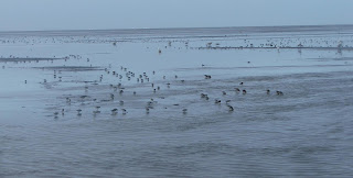 [Shorebirds at Jago Delta]