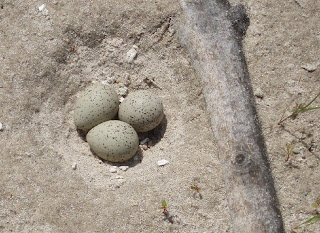 [Piping Plover nest on the Niobrara River]
