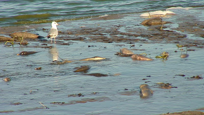 [Gull at carp-filled lake in Brown county]