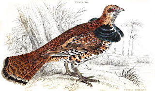 [Ruffed Grouse image from Jardine, 1834]