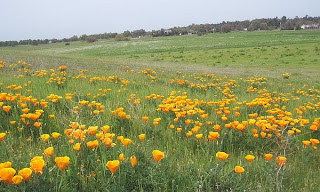 California Poppy, Eschscholzia californica, Bird Valley wildflowers, Yolo County