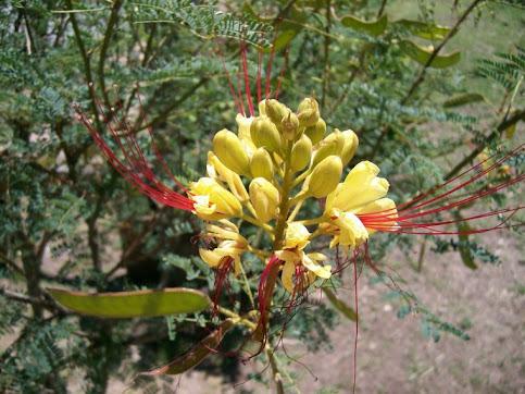 LA LAGAÑA DE PERRO - Caesalpinia gillesii