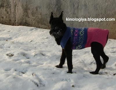 Собака породы ризеншнауцер одежда