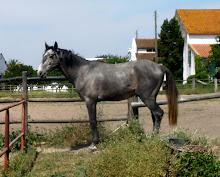 Cavalos em Venda ( em Desbaste)