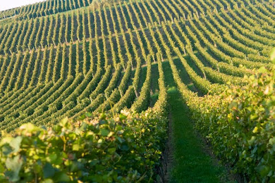 Vineyard in Baden, Germany