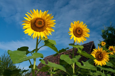 Giant sunflowers at attention, Hofstetten, Switzerland