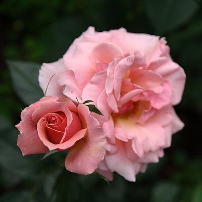 Imagen doble. La mujer y la rosa