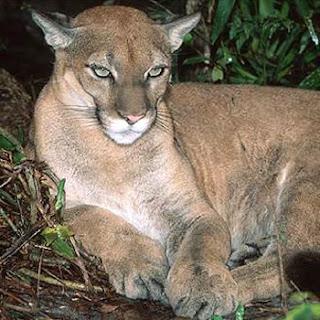 Smart Ebook Puma Singa Gunung Amerika