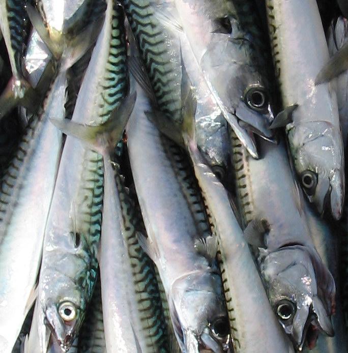 Nj fishing information mackerel fishing 101 for Belmar princess fishing report