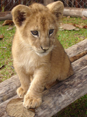 Cute Baby Lion Cub Pictures