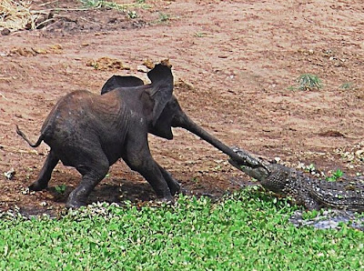 Baby Elephant Attacked By Crocodille  Seen On  www.coolpicturegallery.us