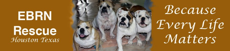 English Bulldog Rescue Network Houston Texas