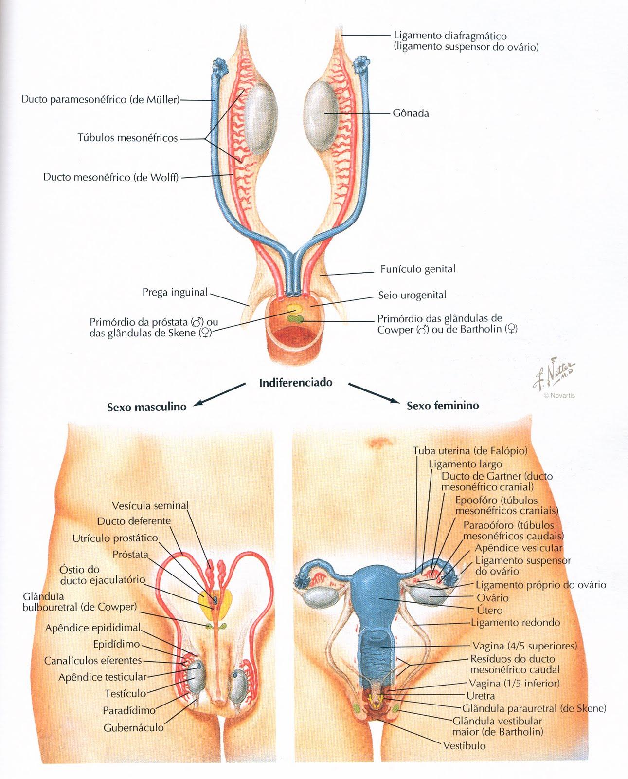 Moderno Diagrama De La Anatomía De La Vulva Patrón - Anatomía de Las ...