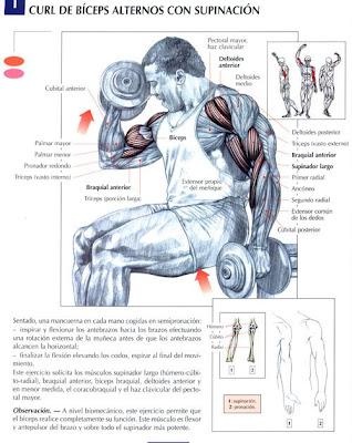 ejercicios para el abdomen. Ejercicios Para Biceps
