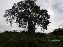 Imbondeiro, a árvore símbolo das savanas de Angola