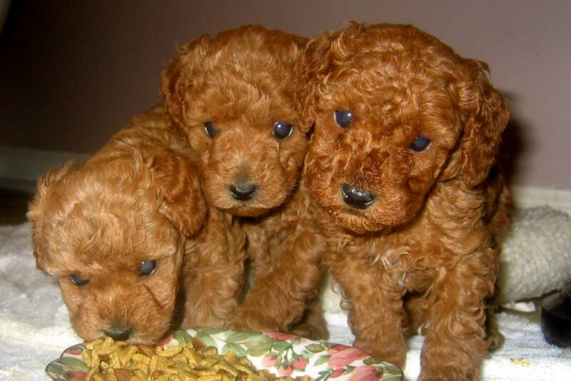 Red Toy Dogs : Images about standard poodles on pinterest