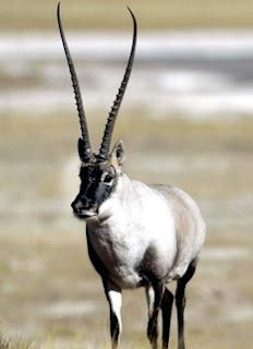 Tibetan_antelope_01.jpg