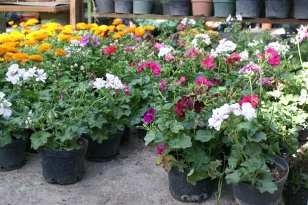 Green produccion de plantas ornamentales for Produccion de plantas ornamentales