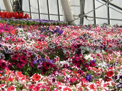 giardini in gallura: petunia hybrida