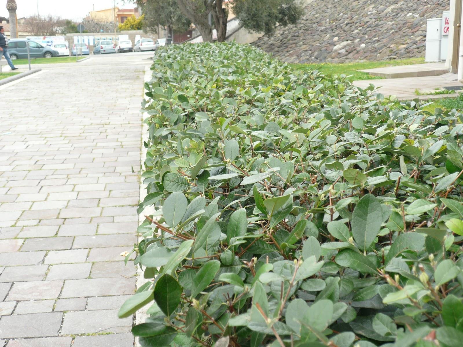 Giardini in gallura feijoa sellowiana o acca for Pianta feijoa