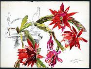 Epiphyllum ...