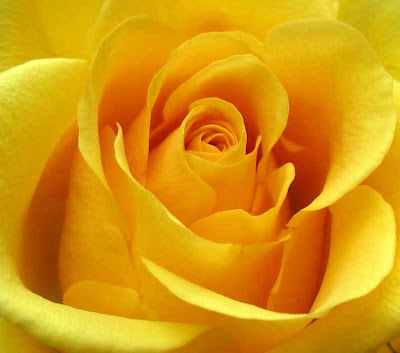 close up of full blown large yellow rose