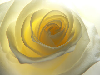 pale yellow rose close up
