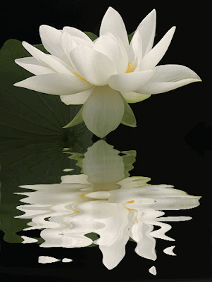 lotus and its reflection in still water