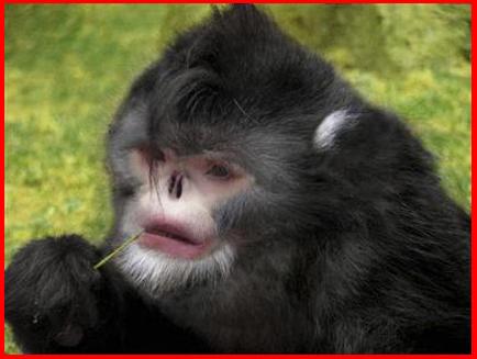 Tonkin Snub Nosed Langur. oct Snub+nosed+monkey