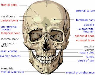 http://4.bp.blogspot.com/_JQhLZ4Jqs1E/S4Gfy4il-BI/AAAAAAAAAns/PaSrCFitJ5M/s320/cheek+cranium_front.jpg