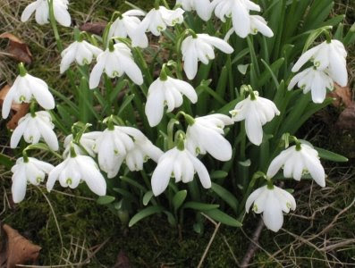 Snowdrops in Auckland Castle