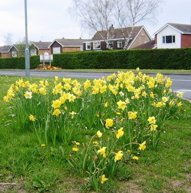 A group of daffodils.