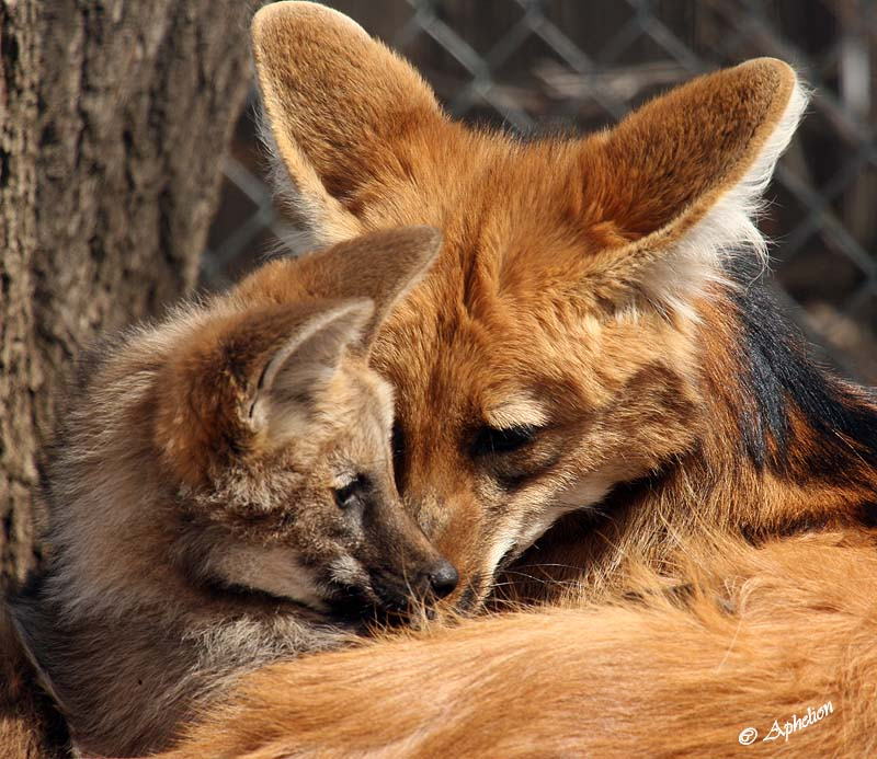 maned wolf pup with mother