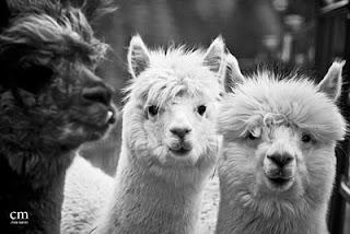 alpacas 2 - chris martin photography