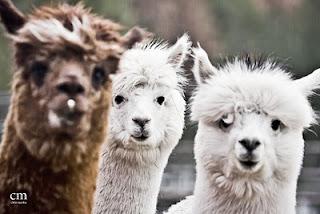 alpacas 3 - chris martin photography