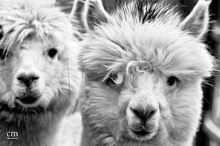 alpacas 4 - chris martin photography