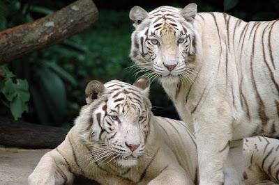 White_Tigers_harimau_putih