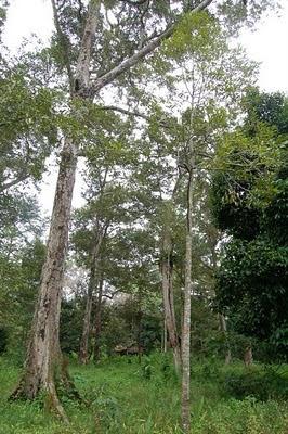Pohon Durian Hulu Sungai Bokor