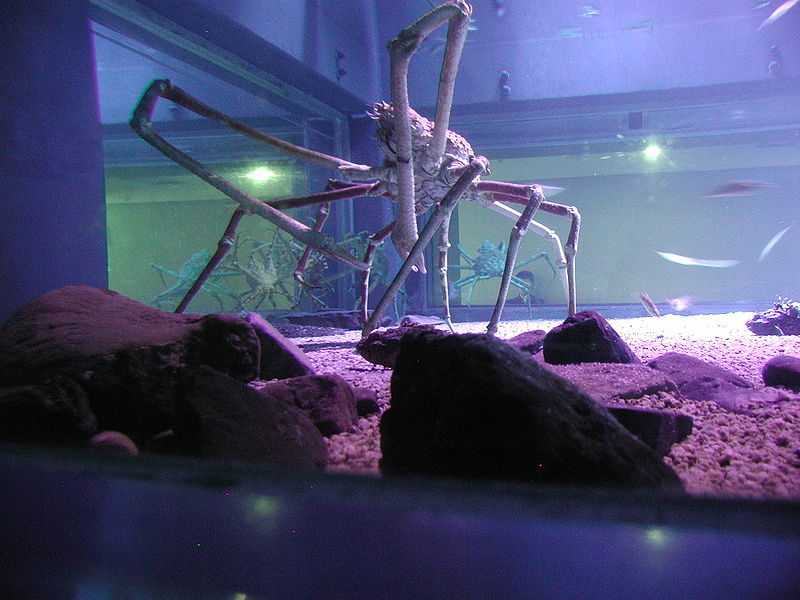 Strange Animals: Japanese spider crab