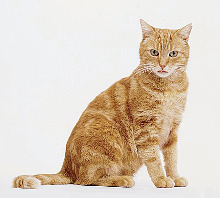 Tabby Cat Orange