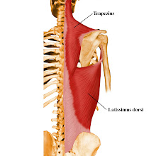 Daging Otot manusia