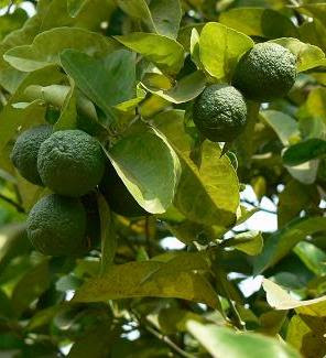 Limes ripening on tree