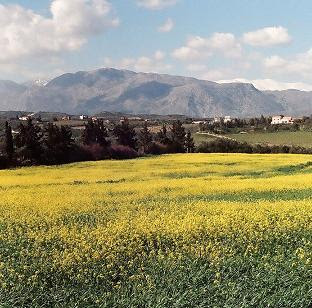 A field of white mustard in Crete