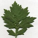 mugwort