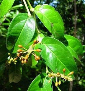 Unripe cubeb pepper fruits and leaves