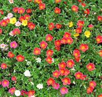 Purslane plants in flower